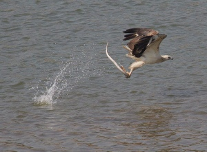 Eagle catch snake