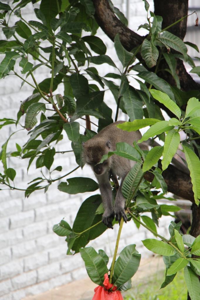 Macaque Mango