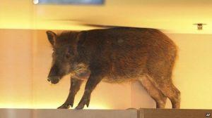 wild boar2