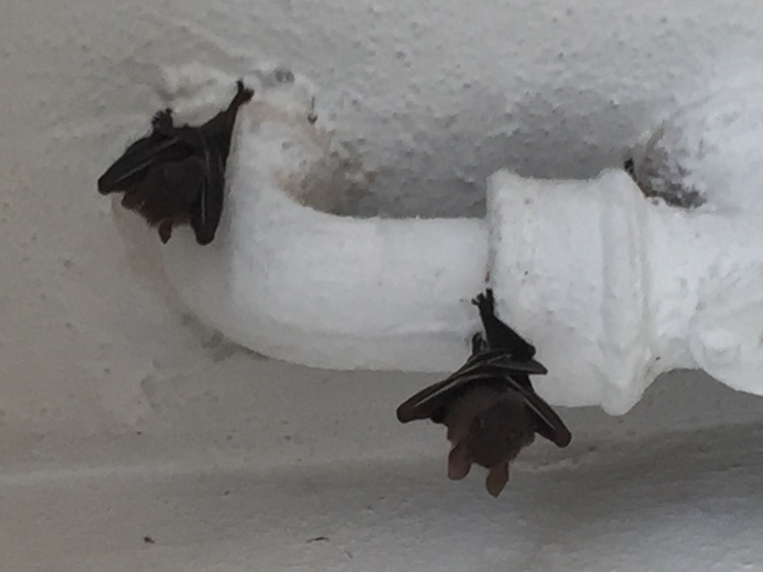 2. Twin Batty 2015.10.03 IMG_4742