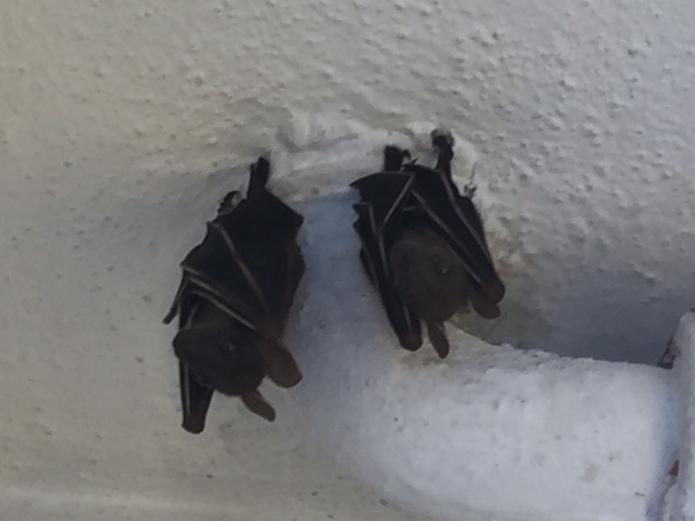 Twin Bats