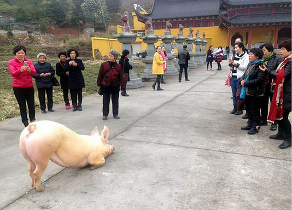 Pig escapes to Buddhist Temple