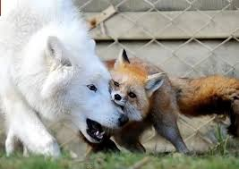 wolf and fox.jpg