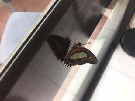 Butterfly BK Cult AS