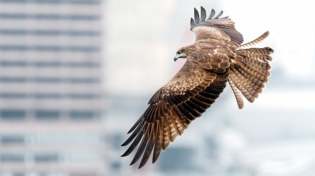 hong-kong-birds-of-prey-black-kites.jpg