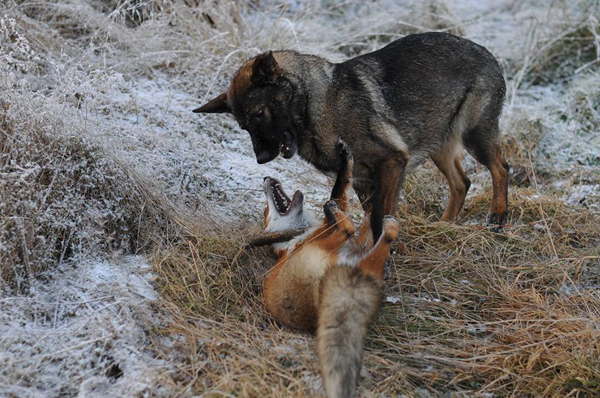 This image has an empty alt attribute; its file name is surprising-friendship-between-norwegian-dog-and-wild-fox4.jpg
